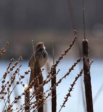 Photo: Song sparrow