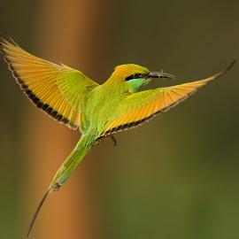 Green Bee-eater  by Malay Maity - Animals Birds (  )