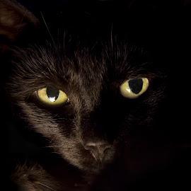 by Scott Stolsenberg - Animals - Cats Portraits ( black fur, black cat, cat, yellow eyes, black, portrait )