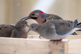 Photo: Northern Flicker with Mourning Doves, 3 Feb 2013