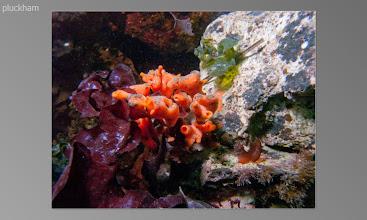 Photo: Orange finger sponge on Kelp pilaf :)