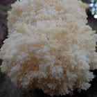 Coral Tooth Fungus