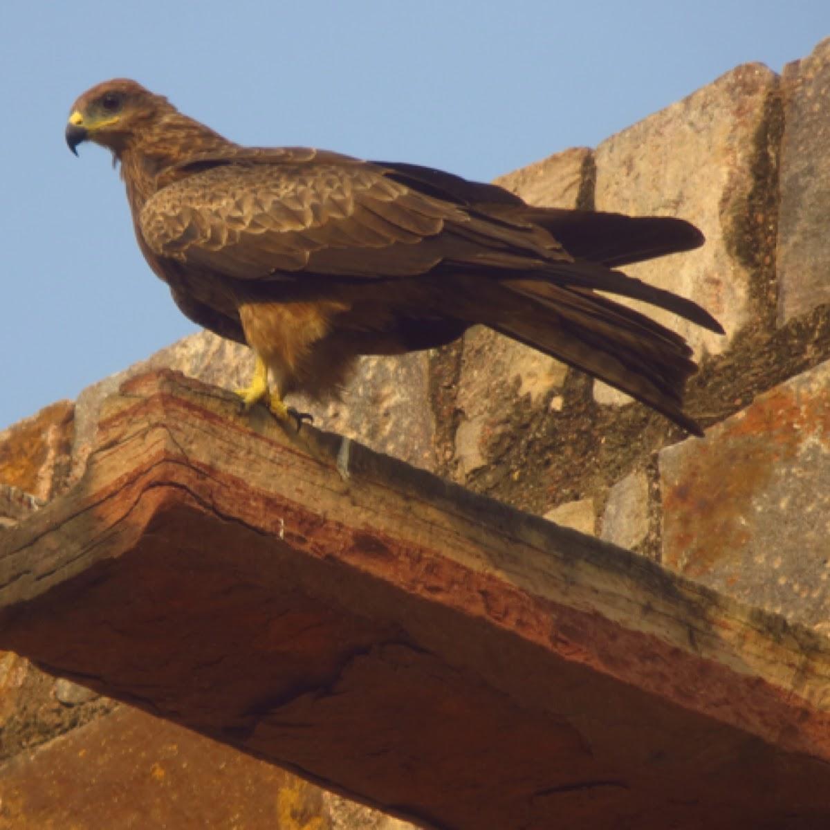 Black Kite (Pariah Kite)