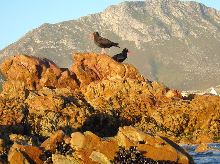 Great getaway: Mountains, ocean, birdlife and quiet nature reserve trails are among the abundant charms of Pringle Bay — a good spot to catch lobster and pick mussels just over an hour's drive from Cape Town. Picture: BRIAN BERKMAN
