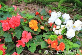 Photo: 拍攝地點: 梅峰-溫帶花卉區 拍攝植物: 球根秋海棠 拍攝日期:2013_07_30_FY