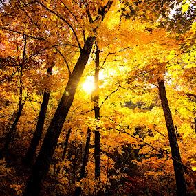 Golden Forrest by Craig Curlee - Landscapes Forests ( forrest, foliage, sunset, fall, woods, golden )