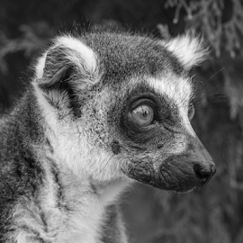 Lemur by Garry Chisholm - Black & White Animals ( lemur, primate, nature, mammal, garry chisholm )