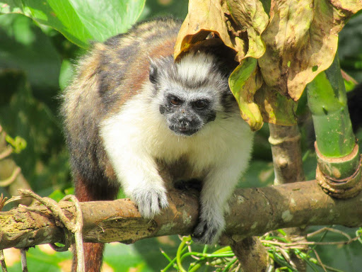 A Tamarin or titi monkey looks to see whether visitors have brought him lunch at Monkey Island in Panama.