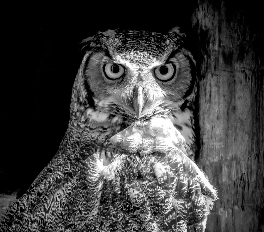 Great Horned Owl by Debbie Quick - Black & White Animals ( raptor, debbie quick, owl, nature, florida, debs creative images, birds of prey, outdoors, bird, great horned owl, animal, black and white, wild, wildlife,  )