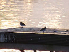 Photo: Priorslee Lake Both birds share the 'pier'. The surface of this shows only too well the effect of loafing Cormorants – a nasty white sticky deposit. Smelly too I expect. (Ed Wilson)
