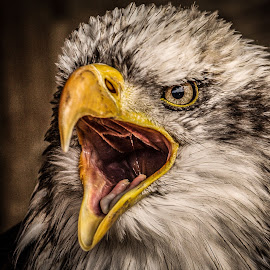 McCoy by Garry Chisholm - Animals Birds ( bird, nature, wildlife, prey, raptor,  )