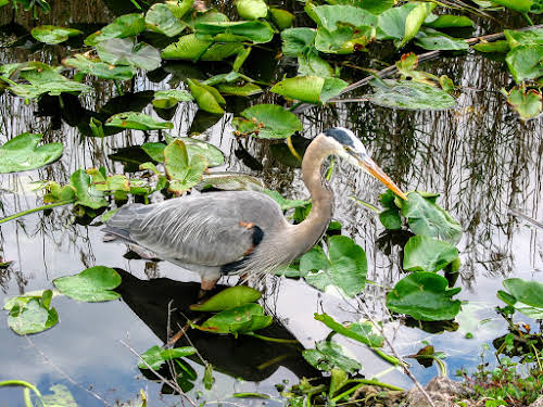 South Florida Attractions: Miami to Key West Travel Guide // Great Blue Heron on the Anhinga Trail, Everglades