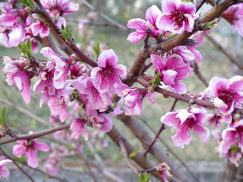 Fiori rosa, fiori di pesco di Piccina