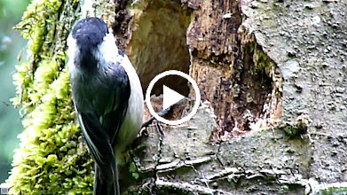 Video: Black-capped Chickadee feeding its young.