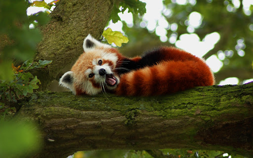 Red Panda Live Wallpaper