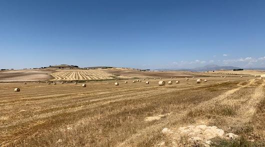 El trigo y la cebada brillan este año en Los Vélez