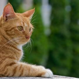 by Richard Idea - Animals - Cats Portraits