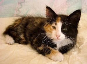 Photo: Fiona Central Cats MONTEGANCEDO*ES Gatos de los Bosques de Noruega