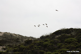 Photo: (Year 3) Day 20 - Flock of Pelicans