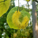 American Dagger Moth (caterpillar)