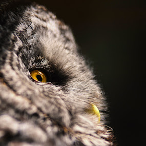 C'est chouette by Nick Beaudoin - Animals Birds ( owl, yellow, jaune, oeil, hibou, eyes,  )