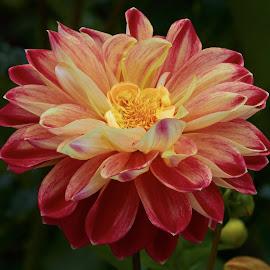 Dahlia 8683~ by Raphael RaCcoon - Flowers Single Flower