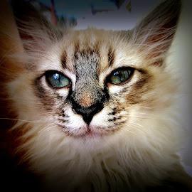 Sweet heart...Photo IzMun. by Izvorul Muntelui Bicaz - Animals - Cats Portraits