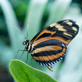 Butterfly Pose by Anita Elder - Animals Insects & Spiders ( orange, butterfly, wings, insect, black )