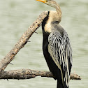 Darter  or Snakebird
