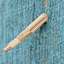 Tower Case Moth