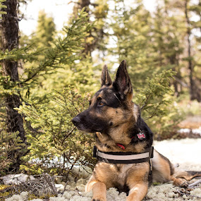 Big Ears by Mikahla Dorey - Animals - Dogs Portraits ( green, trees, german shepherd, woods, black and tan )
