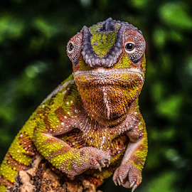 Chameleon by Garry Chisholm - Animals Reptiles ( macro, nature, panther chameleon, reptile, lizard, garry chisholm )