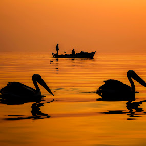 Calm evening on the bay by Murat Besbudak - Animals Birds ( sea fishermen, pelican, bostanlı, izmir,  )