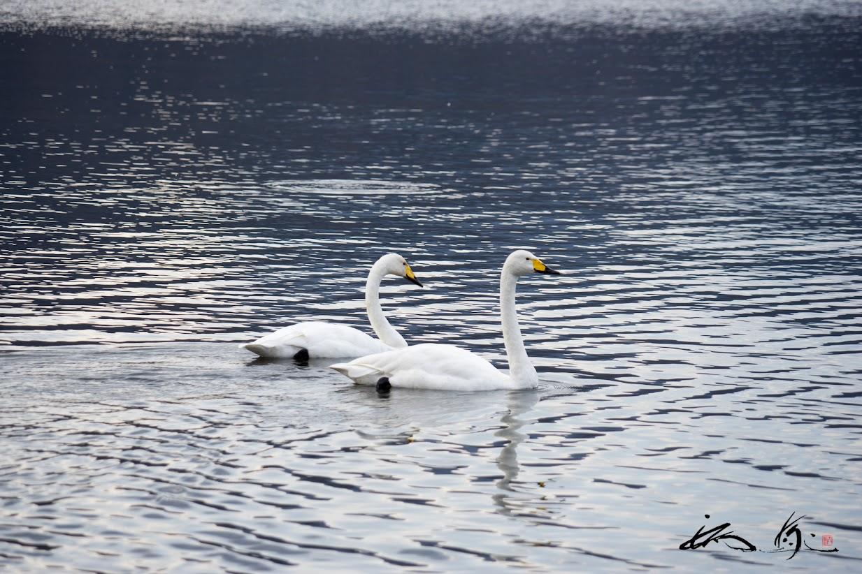 屈斜路湖(弟子屈町)の夫婦白鳥