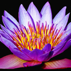 water lilly by SANGEETA MENA  - Flowers Flowers in the Wild (  )