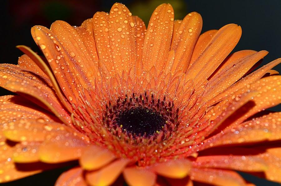 by Vishal Bhatnagar - Flowers Single Flower (  )
