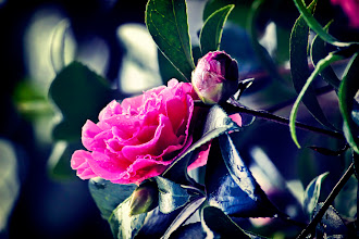 Photo: http://www.redbubble.com/people/inspiraimage/works/13912802-camellia-in-the-rain