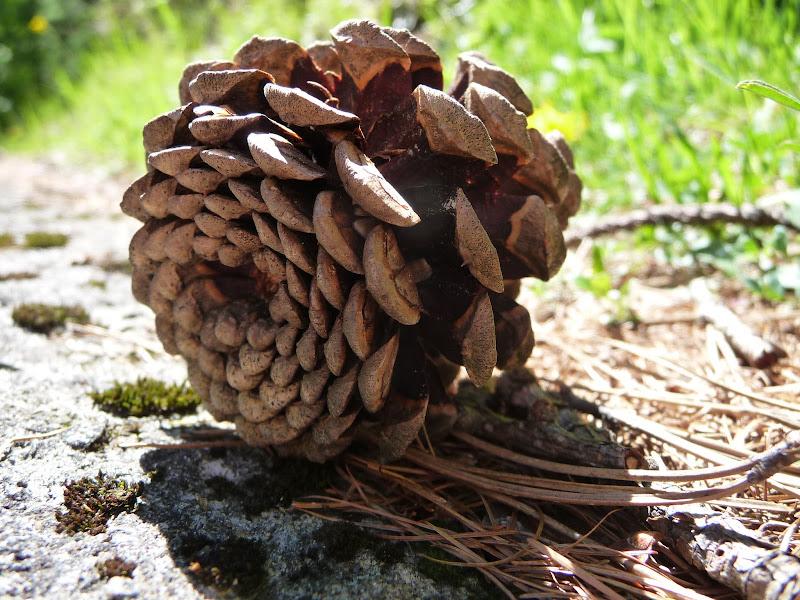 Pine Cone di Laucol