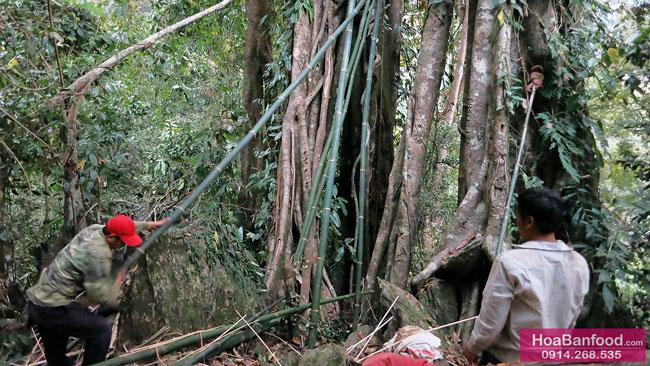 Khai thác Mật Ong Rừng ở Lai Châu - 16