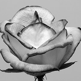 Tinged with Black by Chrissie Barrow - Black & White Flowers & Plants ( rose, monochrome, black and white, petals, mono, flower )