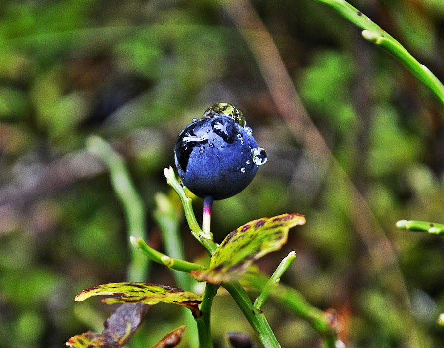 Blueberry by Aura Vasile - Nature Up Close Other plants