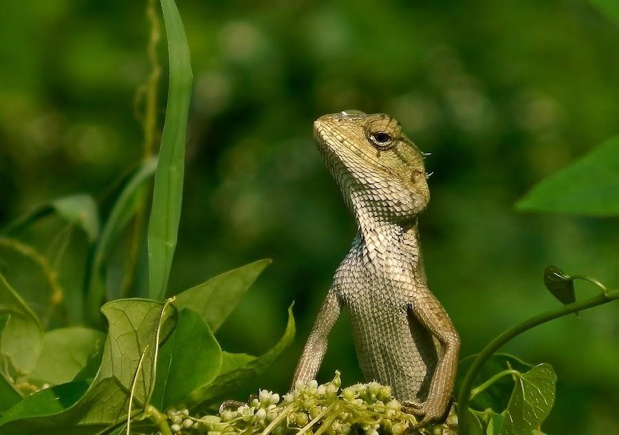 Garden Lizard by Amit Naskar - Animals Reptiles