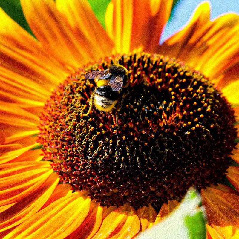 Orange sunflower di Merlograziano