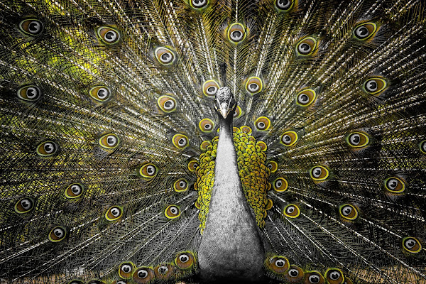 Peacock in yellow di Zafs_77