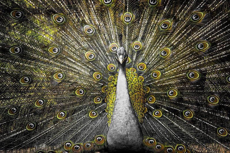 Peacock in yellow di Zafs_77