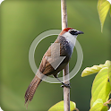 Chestnut Capped Bird Sounds Ringtone icon