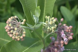 Photo: Common milkweed