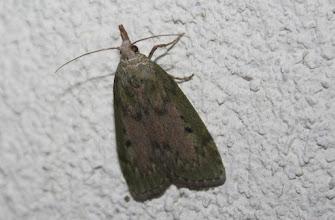 Photo: Aphomia sociella  Lepidoptera > Pyralidae