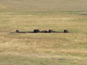 Photo: Buffalo wallowing