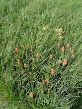 Photo: paintbrush flowers